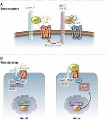 Tissue Renewal Regeneration And Repair An Integral Program For Tissue Renewal And Regeneration Wnt