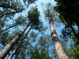 Mississippi forest images Timber forestry products made in mississippi jpg