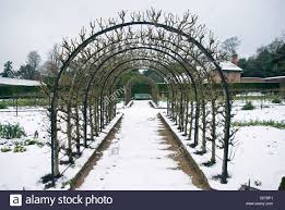 trained apple trees in west dean gardens in the winter snow stock