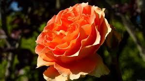shades of orange mlewallpapers com orange rose ii