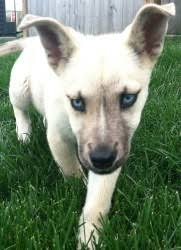 belgian malinois markings image result for belgian malinois white dogsbody pinterest