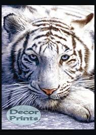 white tiger home decor decor art prints u2013 original photography art prints posters u0026 more