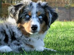 australian shepherd in spanish basileas miniature american shepherds home