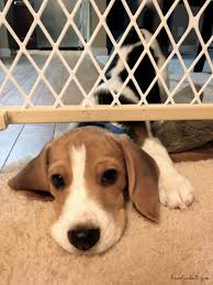 Compression Baby Gate Beagle Puppy Gets Anxious When We Leave Him On One Side Of The