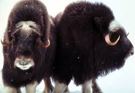 tundra native plants musk ox facts and adaptations ovibos moschatus