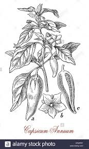 plant native capsicum annuum is a plant native from north and south america
