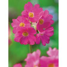 K He Rosa Kaufen Teichpflanzen Online Kaufen Bei Obi