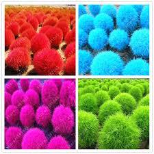 aliexpress buy grass seeds perennial 200pcs burning bush