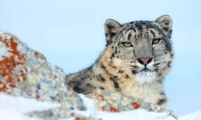 save snow leopards wwf australia