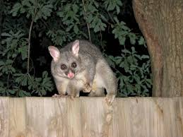 Possum In My Backyard Australian Possums Friend Or Foe Birds Off