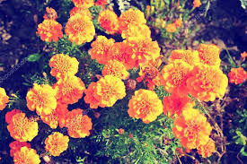 marigold bright flowers ith green leaves in the garden flowers