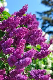 lilac flexibility freedom acceptance