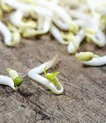 cuisiner les germes de soja les germes de soja sont un ingrédient de cuisson dans la cuisine