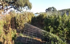treehouse overlooked large el dorado hills area marijuana grow