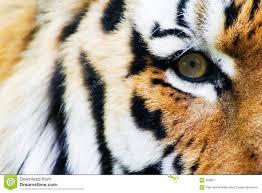 tiger stock image image of closeup threat stripe 829877