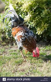 male hen bird rooster roosters peck pecking feathers feather