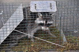 what is the best bait for raccoons in a live trap backyard chickens