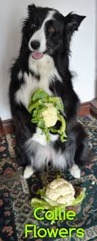 Border Collie Meme - this is my stick isn t it pretty now throw it critters i