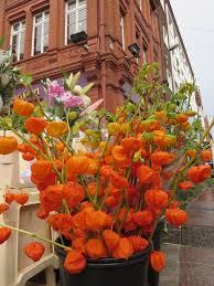 fall autumn orange physalis alkekengi chinese lantern flo u2026 flickr