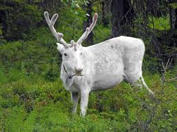 white reindeer in forest stock photo colourbox