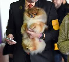 australian shepherd 2015 westminster 99 best images about dogs on pinterest dog show westminster dog