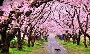 cherry blossom pics cherry blossom adventures