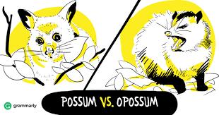 opossum vs possum u2014is it the same animal grammarly