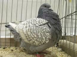 zielonogórski pigeons club and ornamental poultry