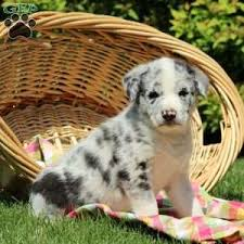 australian shepherd catahoula mix australian shepherd mix puppies for sale greenfield puppies