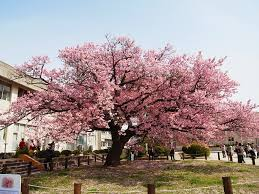 best flowering trees japanese flowering cherry tree kagawa ymg