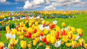 wallpaper bunga tulip bunga tulip manfaat bunga tulip