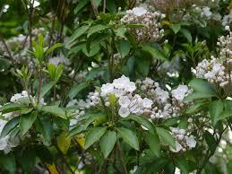 native plants of massachusetts mountain laurel massachusetts native plants pinterest plants