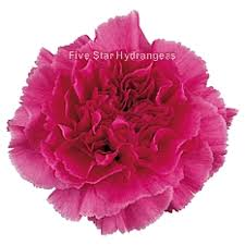 Wholesale Carnations Fresh Pink Carnations Wholesale Pink Carnation Flowers
