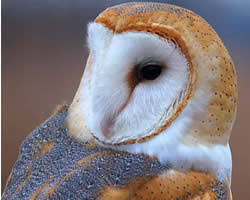 What Does A Barn Owl Look Like Barn Owl Biology Natural History Barn Owl Box Company