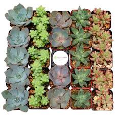 Low Light Succulents by Succulents U0026 Cactus Plants Garden Plants U0026 Flowers The Home Depot