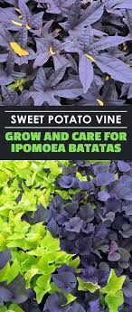 sweet potato vine grow and care for ipomoea batatas