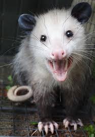 opossum facts album on imgur