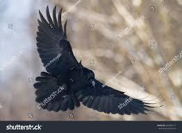 black birds for halloween birds flying black common raven corvus stock photo 520455121