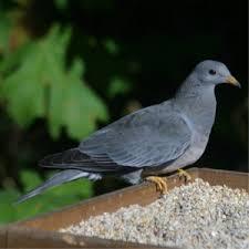 Nc Backyard Birds Nc King County Wa Backyard Birds