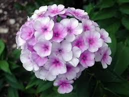 phlox flower elizabeth marsh floral design phlox flower it s meaning