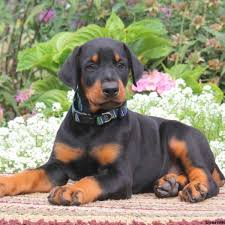 bluetick coonhound puppies for sale in texas doberman pinscher puppies for sale greenfield puppies