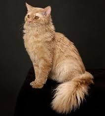 Sho Kucing Anti Jamur kucing kohana hawaiian hairless cat kohana kucing g8 kucing biz