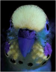 uv light for birds uv plumage and mate choice