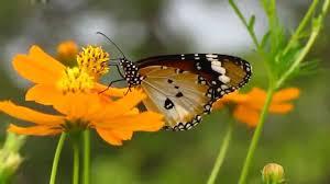 plain tiger butterfly or monarch danaus chrysippus