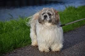shih pooh haircut grooming your dog at home shih tzu haircut