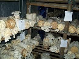 Sho Jamur sho jamur produk archive umkm jogja pilze 187 220 bersicht 252