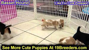 boxer dog utah basset hound puppies for sale in west jordan utah county