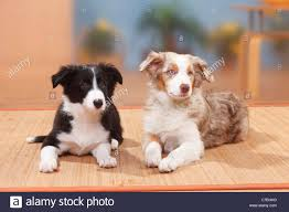 australian shepherd 7 weeks border collie puppies stock photos u0026 border collie puppies stock