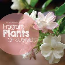 Very Fragrant Plants - scented u0026 fragrant plants about the garden magazine