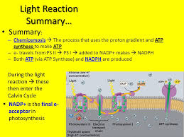 The Light Reactions Of Photosynthesis Use And Produce Photosynthesis In Detail Ppt Online Download